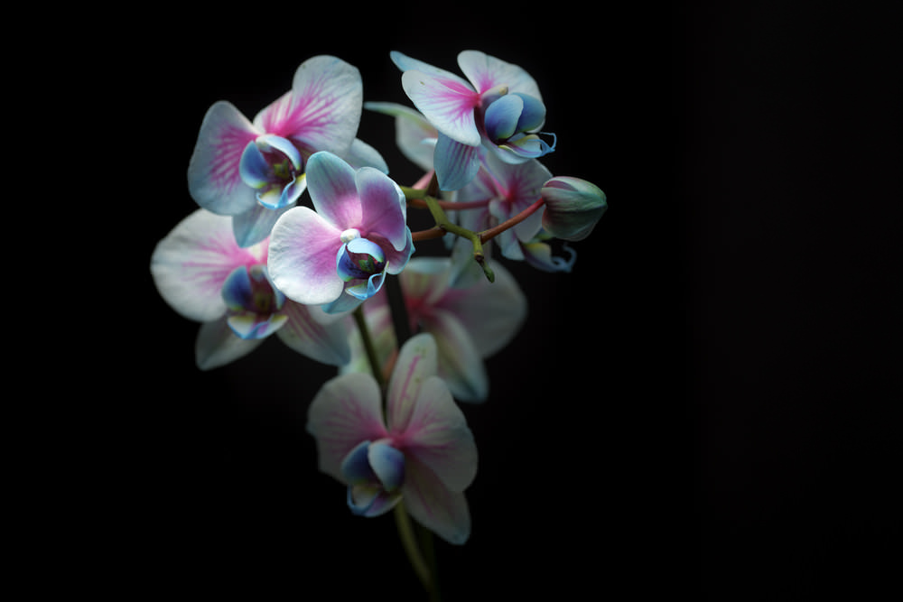 The 14th Annual Orchid Show Opens at the New York Botanical Garden on February 27